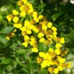 цветение эстрагона