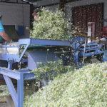 Обработка и сортировка цветков аптечной ромашки
