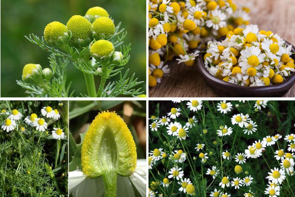 Соцветия и цветы аптечной ромашки