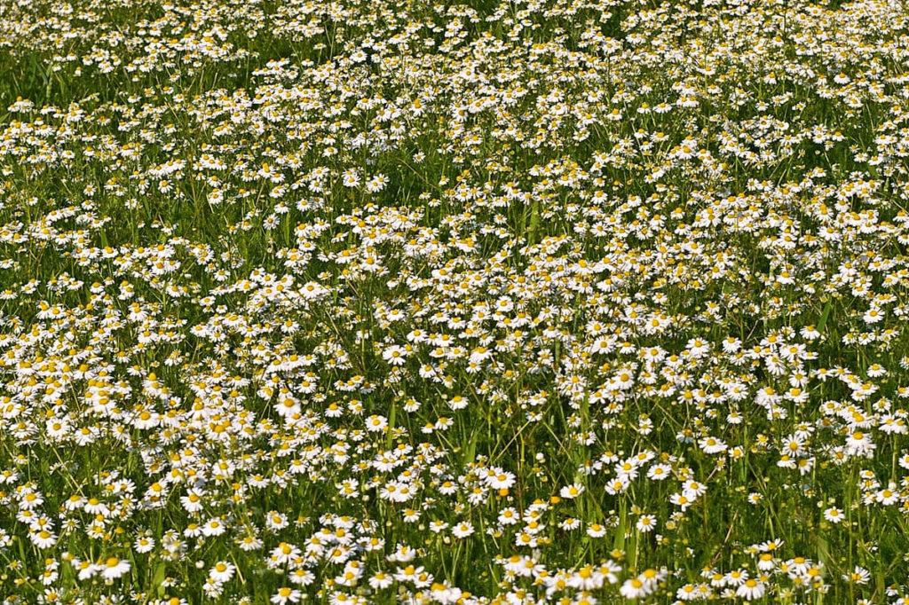 Цветущее ромашковое поле