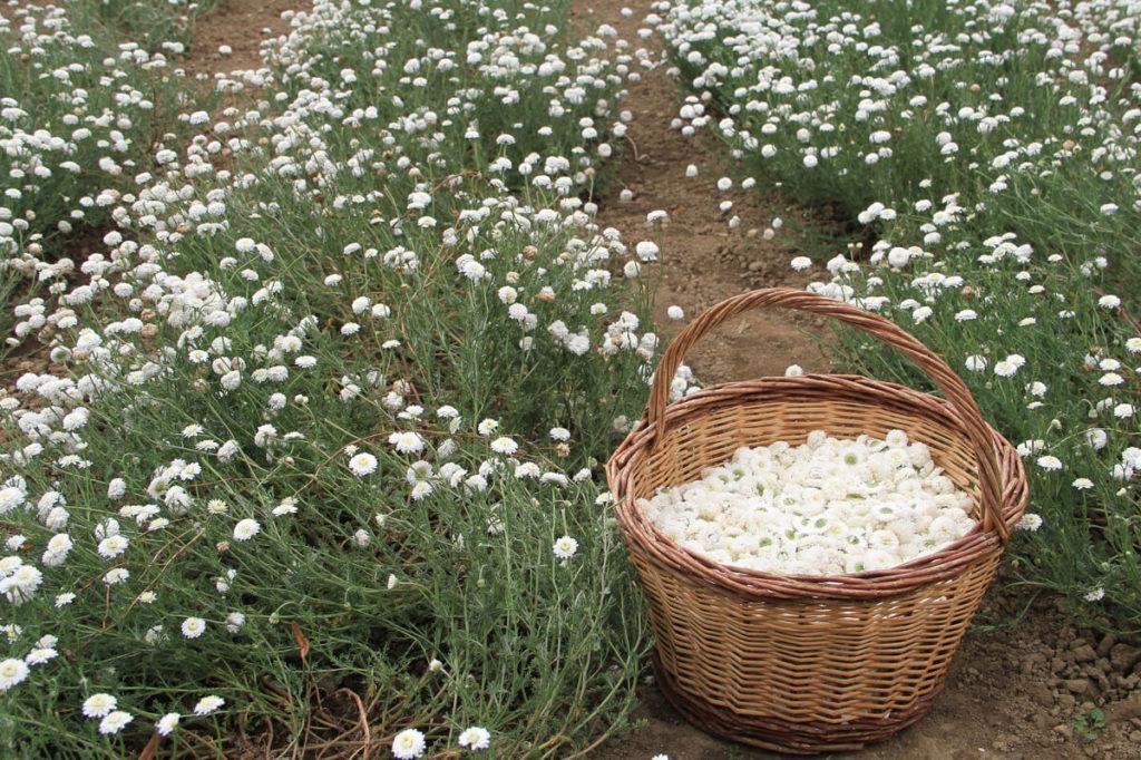 Сбор цветков ромашки
