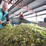 Сортировка цветков ромашки