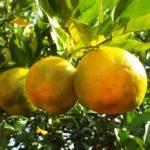 Спелые плоды бергамота на дереве