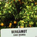 Дерево бергамота