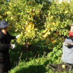 Сбор плодов бергамота