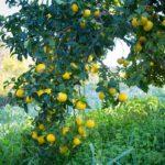 Дерево со спелыми плодами бергамота