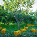 Урожай плодов бергамота