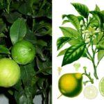 Внешний вид растения бергамот