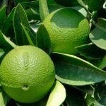 Зеленые плоды и листья бергамота