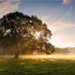 дерево липы