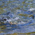 Пойманная форель в воде