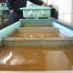 Оплодотворенная икра форели в рыбопитомнике