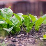 Огородный шпинат