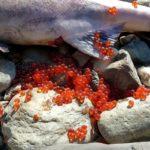 Икра сёмги (атлантического лосося)
