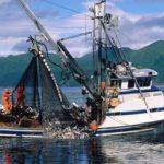 Промышленный вылов сёмги (атлантического лосося)