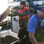 Промышленный вылов семги (атлантического лосося)