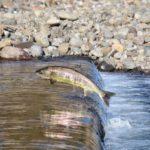 Сёмга (атлантический лосось) в естественной среде обитания