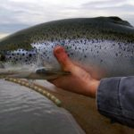 Рыба сёмга (атлантический лосось) в руке