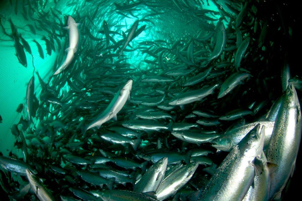 Атлантический лосось (семга) на рыбной ферме в Норвегии