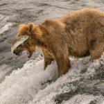 Сёмга (атлантический лосось) и медведь