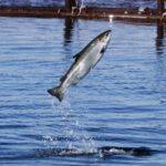 Сёмга (атлантический лосось)