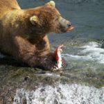 Медведь ест семгу