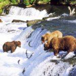 Медведи ловят лососей