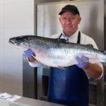 Сёмга (атлантический лосось) в руках повара