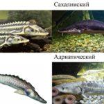 виды осетровых рыб