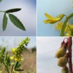 цветы, листья и плоды донника лекарственного