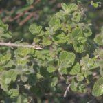 Душица сирийская (Origanum syriacum)