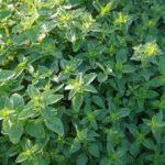 Греческая душица (Origanum vulgare subsp. hirtum)
