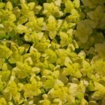 Желтолистная душица (Origanum vulgare 'Aureum')