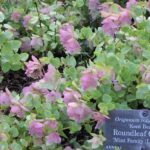 Душица круглолистная (Origanum rotundifolium 'Kent Beauty')