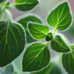 листья душицы, орегано