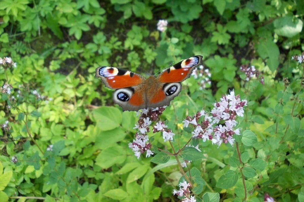 бабочка на душице