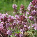 Тимьян или чабрец (Thymus serpyllum)