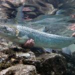 Атлантический лосось (семга)