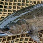 Кижуч или серебряный лосось