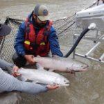 На ферме по выращиванию лосося