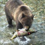 Медведь ест кету