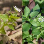 мокрица: стебель и цветок