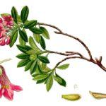 саган дайля ботанический рисунок
