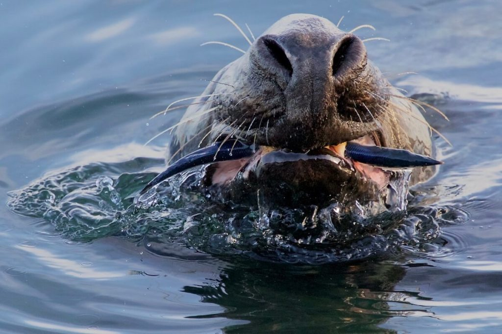 Тюлень поймал сайру