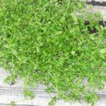 мокрица трава собранная