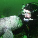Полосатая зубатка и аквалангист под водой