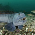 Полосатая зубатка под водой