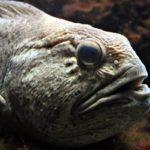 Пестрая или пятнистая зубатка (Anarhichas minor)