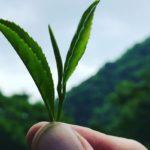 Почка и листики чая
