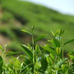 Чайный куст (Caméllia sinénsis)